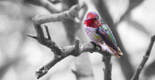 Hummingbird in Tree Royalty Free Stock Photo