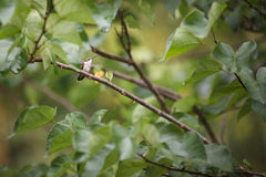 Hummingbird in a tree. Hummingbird watching from a tree royalty free stock photos