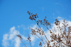 Hummingbird in a Tree. Wideshot of blue sky, clouds and a hummingbird perched in a tree Stock Image