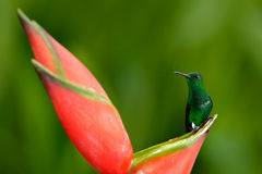 Hummingbird from tropic forest, Costa Rica. Beautiful scene with bird and flower in wild nature. Hummingbird sitting on beautiful Royalty Free Stock Images