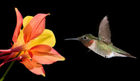 Hummingbird with Tropical Flower on Black Background Stock Photos