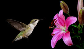 Hummingbird with Tropical Flowers on Black Background Royalty Free Stock Photos