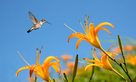 Hummingbird with Tropical Lily Flowers Stock Photos