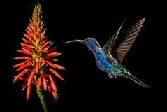 Hummingbird with tropical orange flower kniphofia Stock Photography