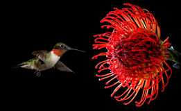 Hummingbird with tropical Waratah flower over black background Royalty Free Stock Photos