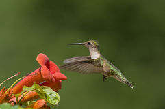 Hummingbird and Trumpet Vine Stock Image
