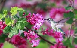 Hummingbird. At Tualatin River National Wildlife Refuge stock photo
