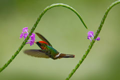 Hummingbird Tufted Coquette, colourful bird with orange crest and collar in green and violet flower habitat, flying next to beauti Stock Photo