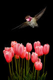 Hummingbird with Tulips Flowers on Black Background Stock Photography