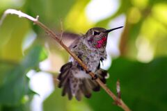 Hummingbird up close, leaving his perch Royalty Free Stock Images