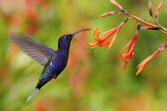 Hummingbird Violet Sabrewing flying next to beautiful orange flower, blurred flower garden in background, La Paz, Costa Rica Stock Photo