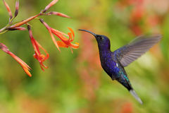 Hummingbird Violet Sabrewing flying next to beautiful orange flower, blurred flower garden in background, La Paz, Costa Rica Royalty Free Stock Image