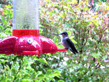 Hummingbird Visits Feeder Stock Images
