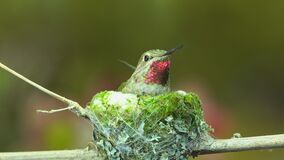 Hummingbird visits flowers before flying back to her nest
