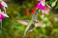Hummingbird visits fuchsia in drizzle stock photography