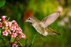 Hummingbird visits pink flowers royalty free stock photos