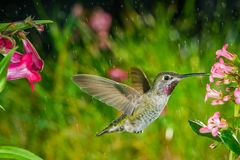 Hummingbird visits pink small flowers in some drizzle stock images