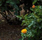 Hummingbird Visits Roses in Balboa Park, San Diego royalty free stock images