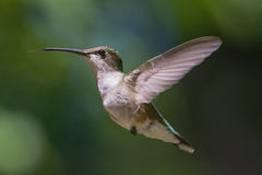 Hummingbird w locie Fotografia Royalty Free