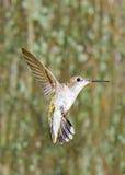 Hummingbird w Ogródzie Zdjęcia Royalty Free