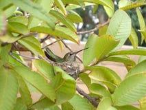 Hummingbird w Swój gniazdeczku zdjęcie stock