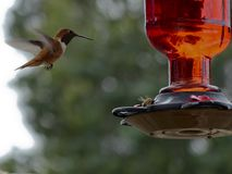 Hummingbird watches a Honeybee eat nectar from a backyard feeder Royalty Free Stock Photo