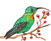Hummingbird Watercolor. Vibrant colored hand painted hummingbird sitting on a berry branch Royalty Free Stock Photo