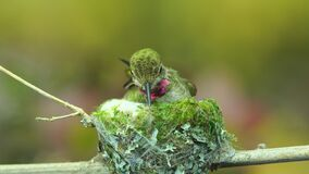 Hummingbird weaving nest exterior with spider silk while other birds chirping in background