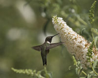 Hummingbird white bract Stock Photography