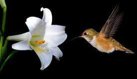 Hummingbird with White Lily Flowers on Black Background Stock Photos