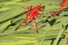 Hummingbird and Crocosmia Stock Image