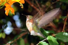 Free Hummingbird Wings Stock Images - 12040084