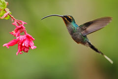 Free Hummingbird With Long Beak, Green Hermit, Phaethornis Guy, Clear Light Green Background, Action Flying Scene In The Nature Habitat Stock Image - 70943881