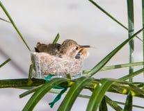 Hummingbird wtyka out jej jęzor Zdjęcia Stock