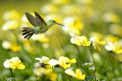 Hummingbird on yellow summer background Stock Images