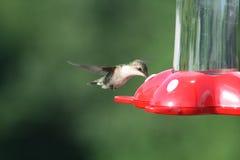 hummingbird żywieniowy czas Obrazy Stock