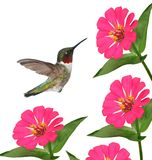 Hummingbird at Zinnias Stock Photography