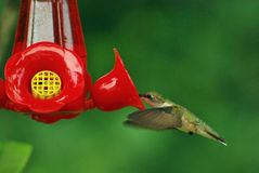 Hummingbird4 Royalty Free Stock Image