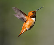 hummingbirdrufus Royaltyfri Bild