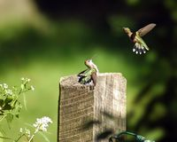 hummingbirds Zdjęcia Royalty Free