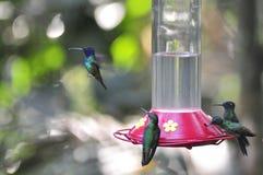 Hummingbirds Obrazy Royalty Free