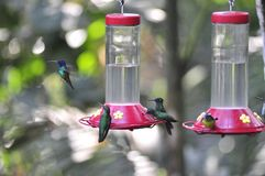 hummingbirds fotografia stock libera da diritti