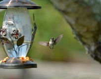 hummingbirds Fotos de archivo libres de regalías