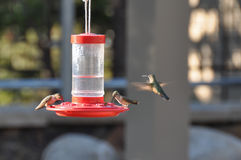 Hummingbirds, Big Horn National Forest, Wyoming, USA Stock Image