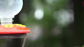 Hummingbirds, Birds, Animals, Wild Life, Nature. Stock video of a hummingbird stock footage