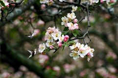 Hummingbirds blossoms. A picture of two hummingbirds around blossoms of a cherry tree Royalty Free Stock Photo