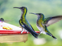 Hummingbirds in Brazil Stock Images