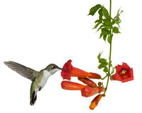 Hummingbirds drinks from a trumpet vine. Ruby throated hummingbird sips nectar from a trumpet vine Stock Photos