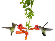 Hummingbirds feed at a trumpet vine. Two hummingbirds sip nectar from a trumpet vine, white background royalty free stock photos