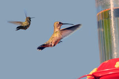Hummingbirds at feeder. Two hummingbirds flying to a feeder Royalty Free Stock Image